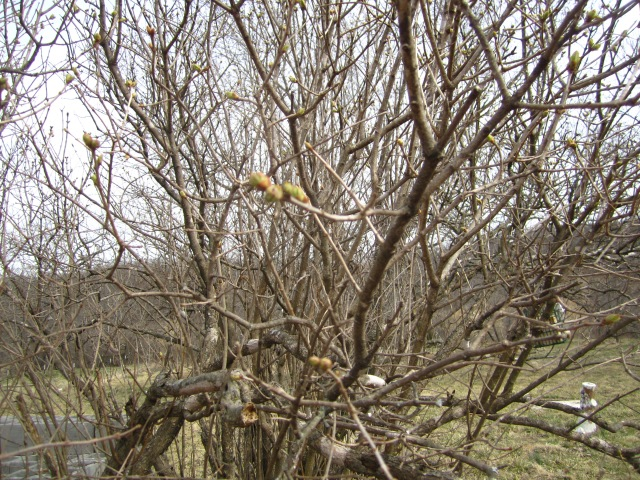 Green buds on the lilac bush.  That means spring is coming,right?
