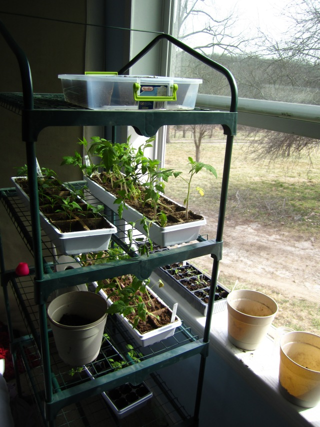 Tomato and pepper seedlings, just waiting for the danger of frost to pass.